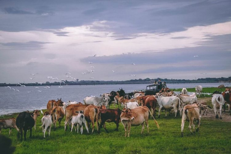 stado bydła Sri Lanka Safari