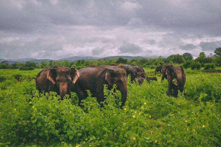 stado słoni na Sri Lance