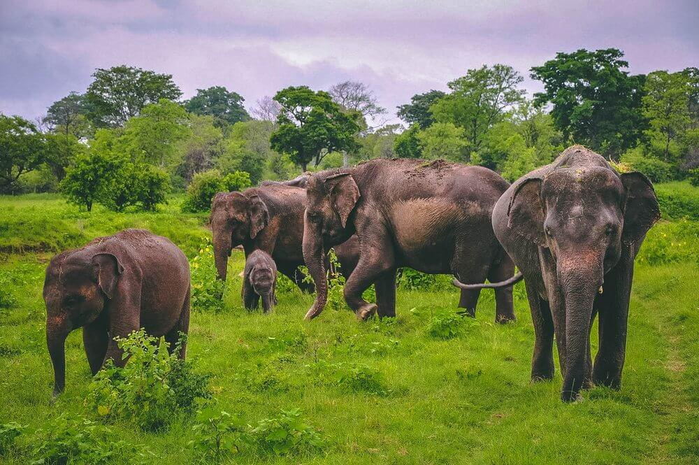 Safari na Sri Lance - stado słoni