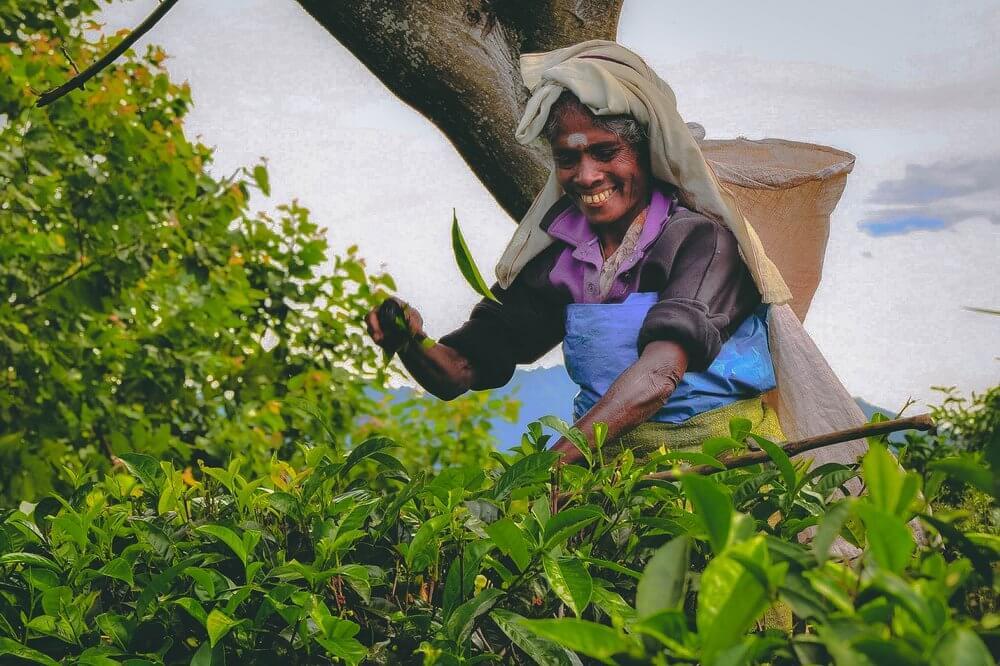 Pani Zbierająca herbatę Sri Lanka