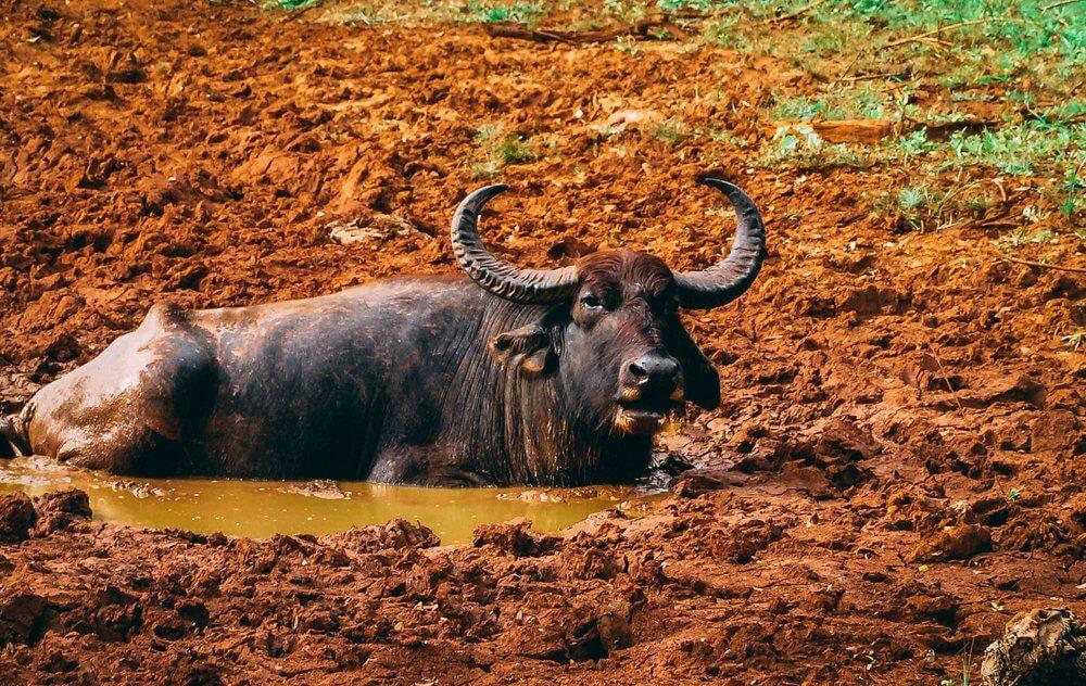 Zwierzęta w Parku Yale Sri Lanka