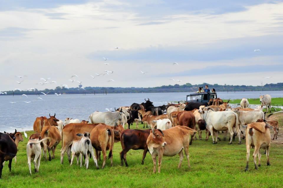 Safarii Kaudulla National Park