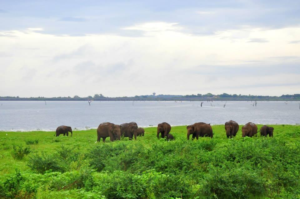Stado słoni - Kaudulla National Park