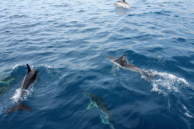 madera - dzikie delfiny