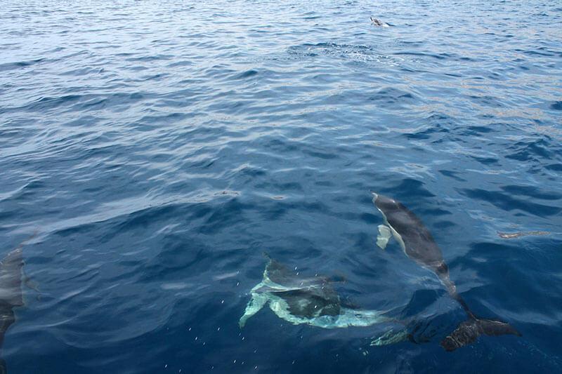 dzikie delfiny na maderze