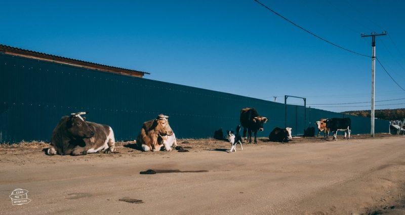 krowy-na-drodze