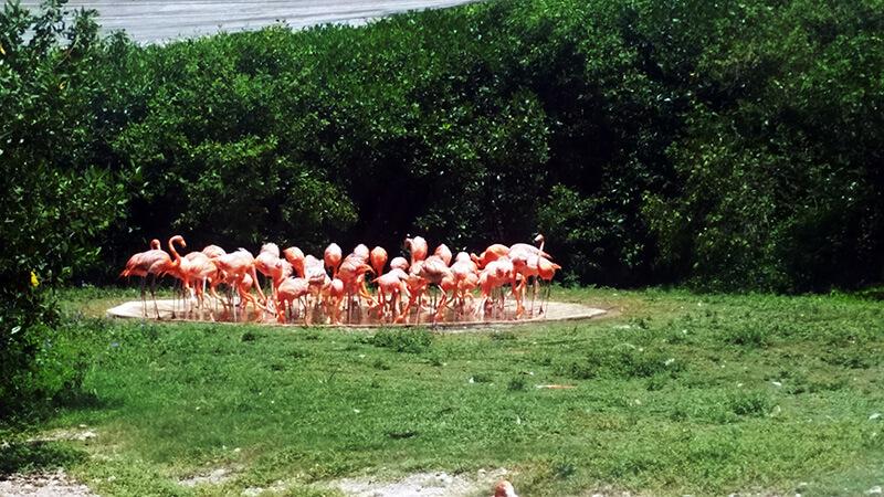 Flamingi w parku Xcaret - Meksyk