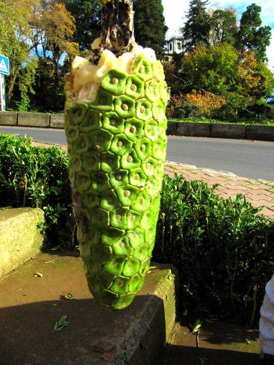 Madera - nietypowe owoce