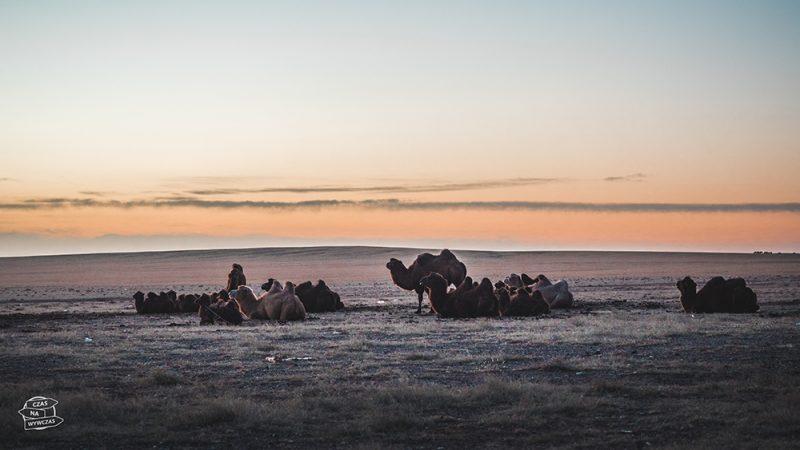 stado wielbłądów Mongolia