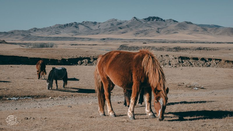 Mongolia, step, konie