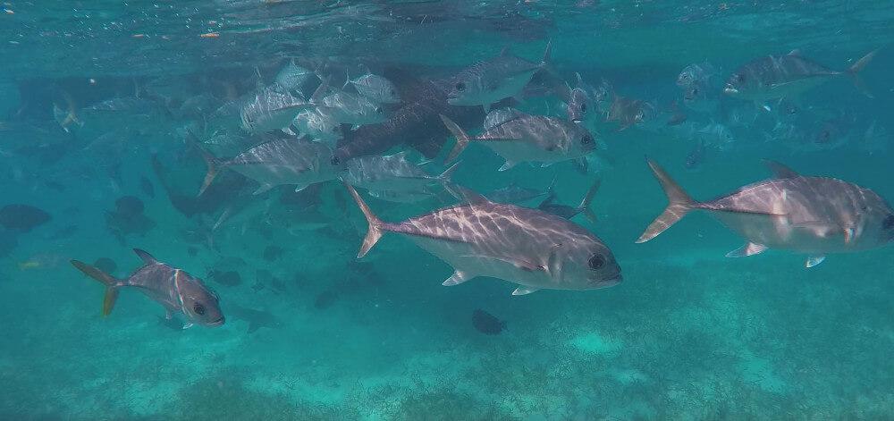 caye-caulker-ryby