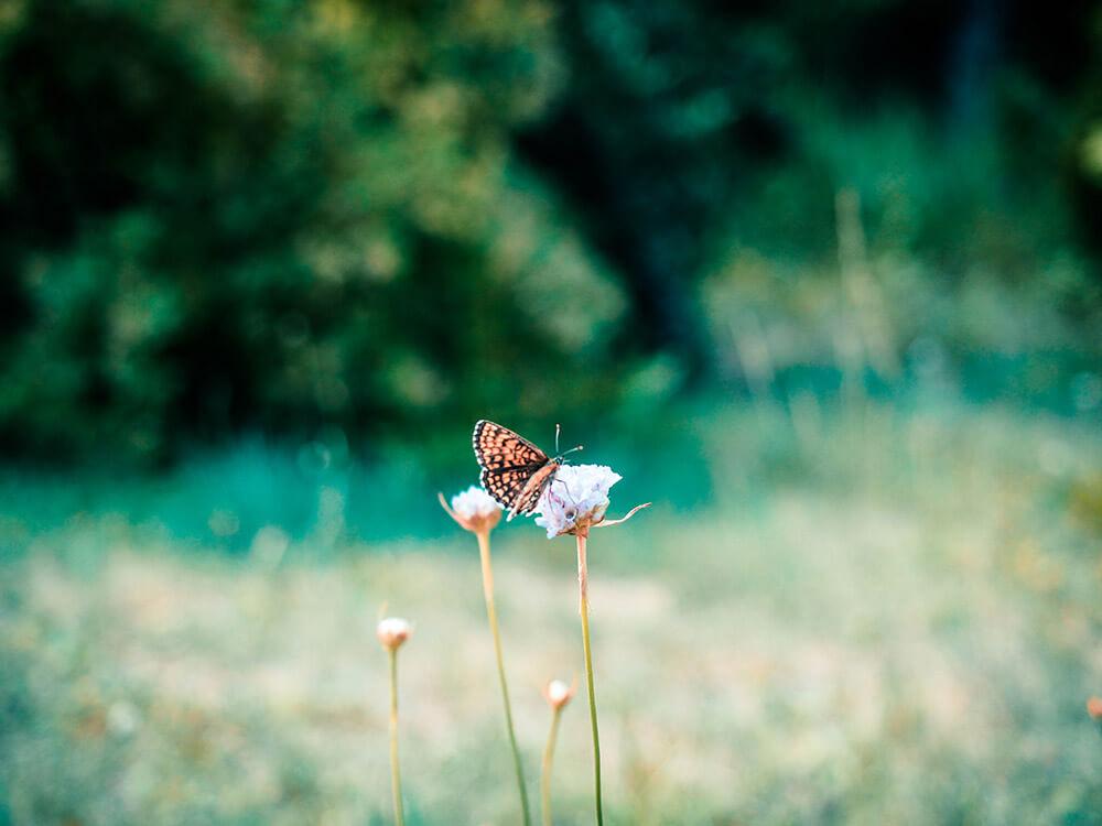 zdjęcia makro - motyl na łące - test aparatu