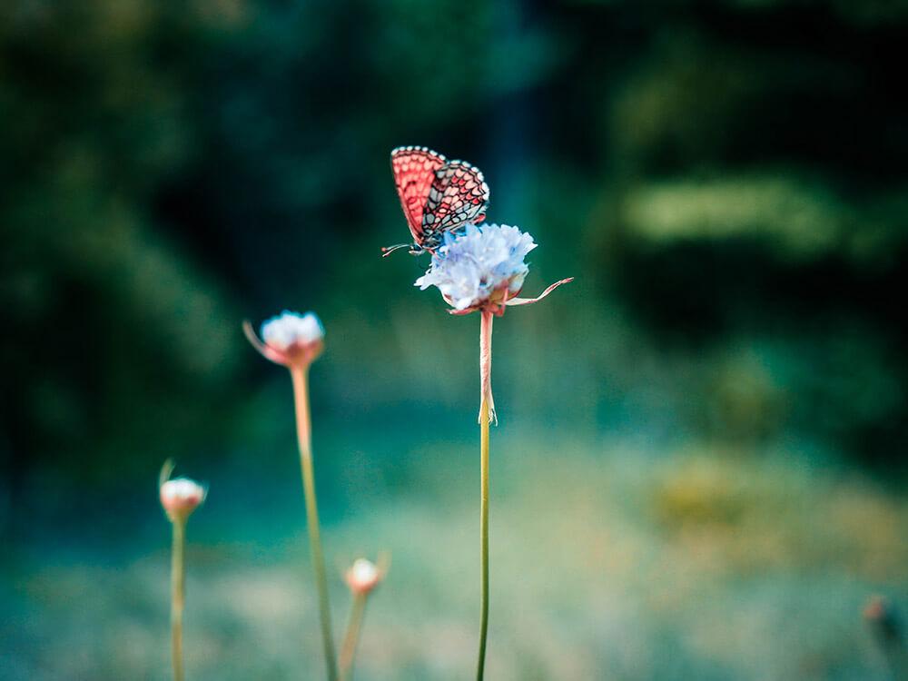 zdjęcia makro - motyl na łące
