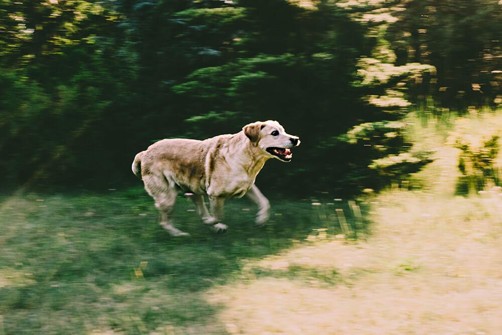 biegnący pies labrador