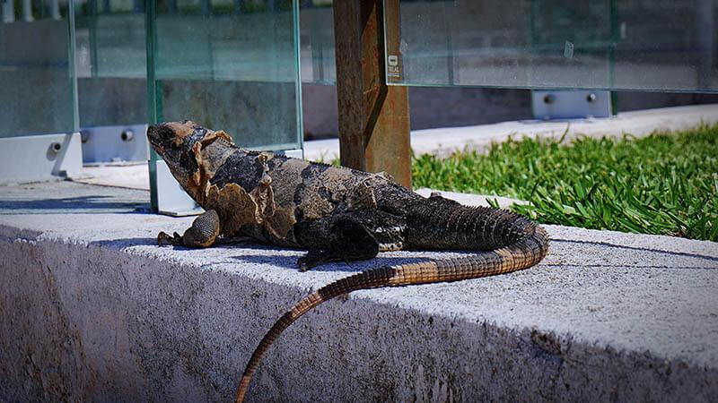 Dzika jaszczurka - Meksyk