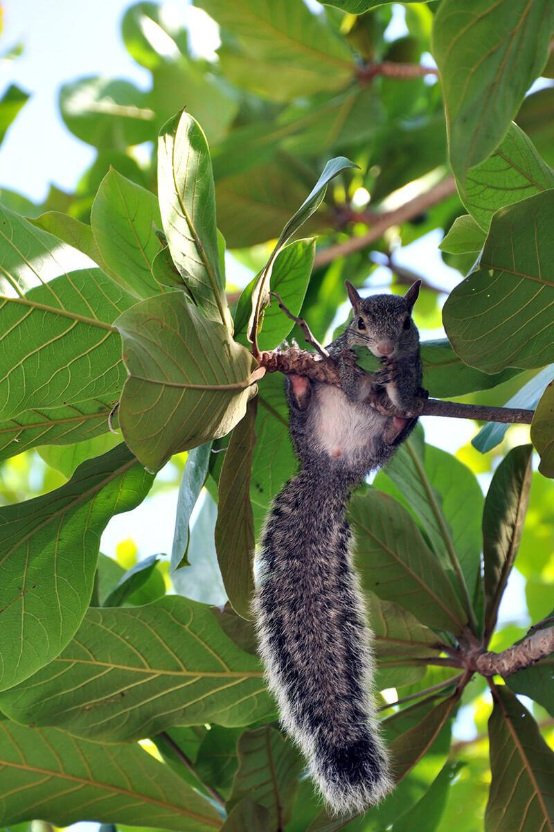 wiewiórka w Tulum