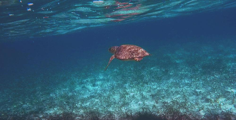 żółw morski w Belize