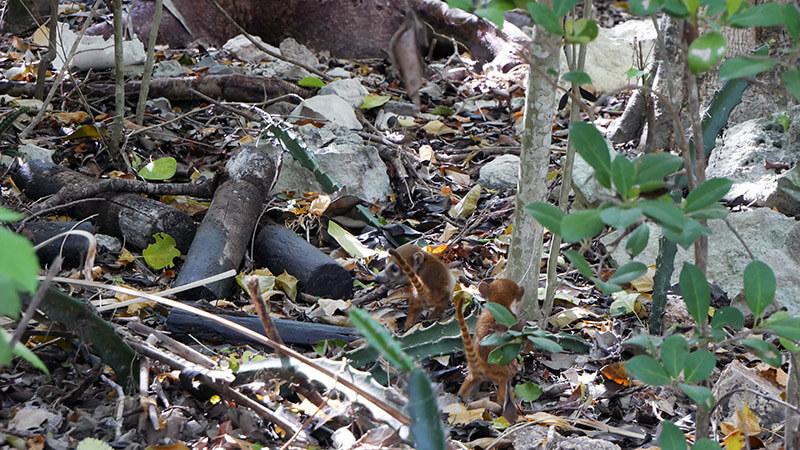 małe zwierzęta w Tulum